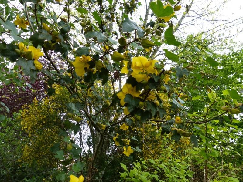 Fremontodendron californicum Fremon12