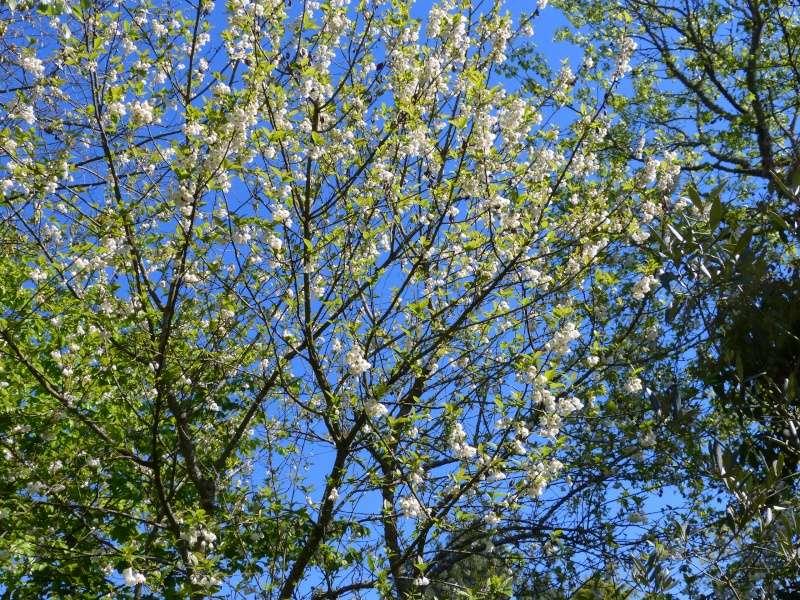 Halesia carolina - arbre aux cloches d'argent Halesi10