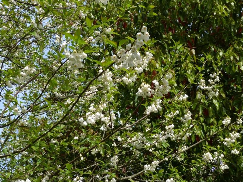 Halesia carolina - arbre aux cloches d'argent Halesi11