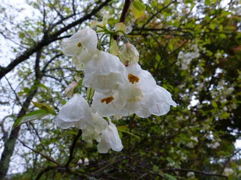 Halesia carolina - arbre aux cloches d'argent Halesi13