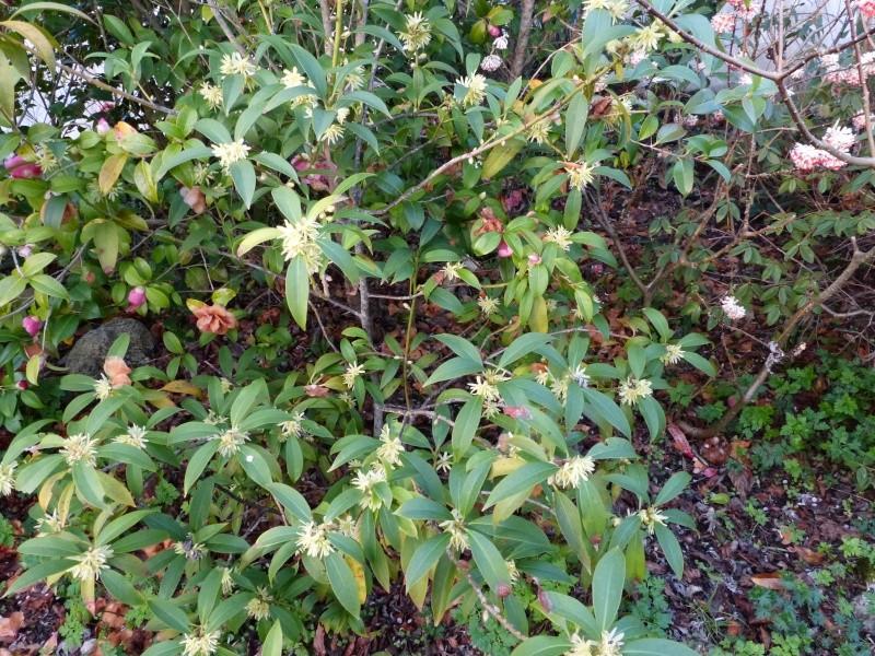 nos plantes parfumées - 2011-2015 - Page 3 Illici13