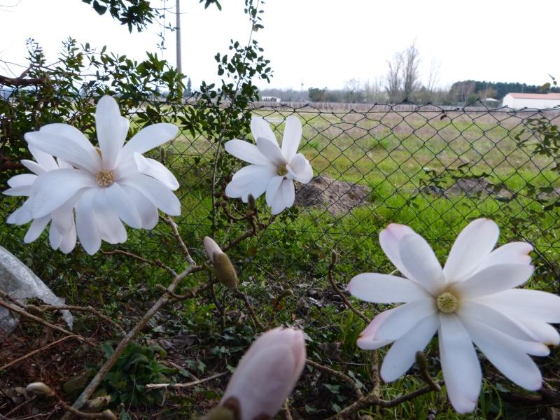 Magnolia stellata  Magnol11