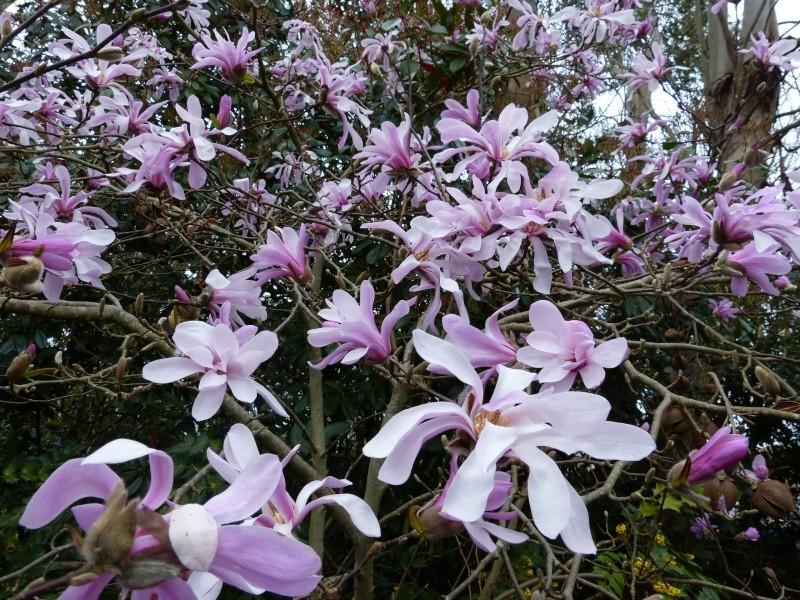 Magnolia stellata  Magnol12