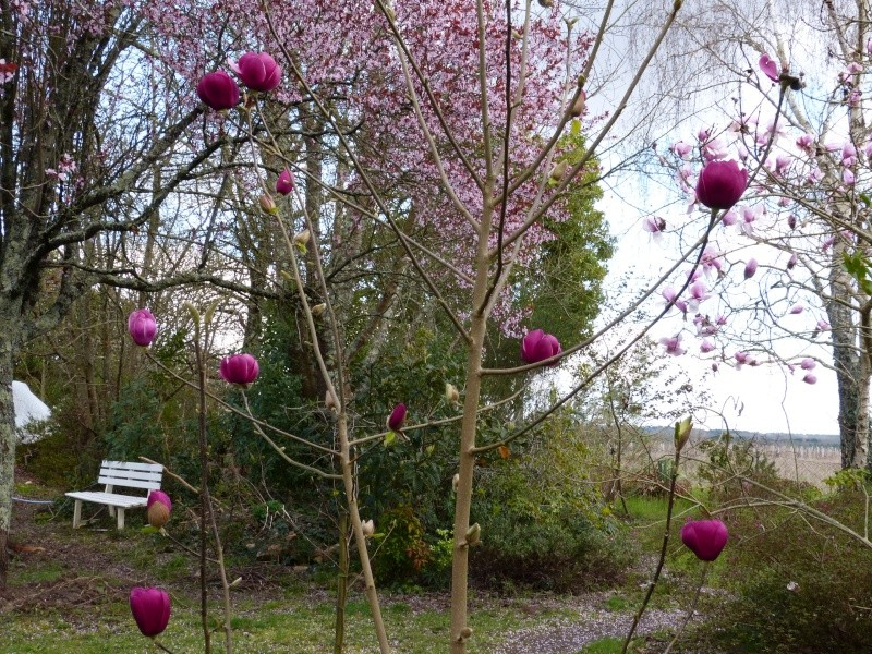 Magnolia 'Black Tulip' Magnol14