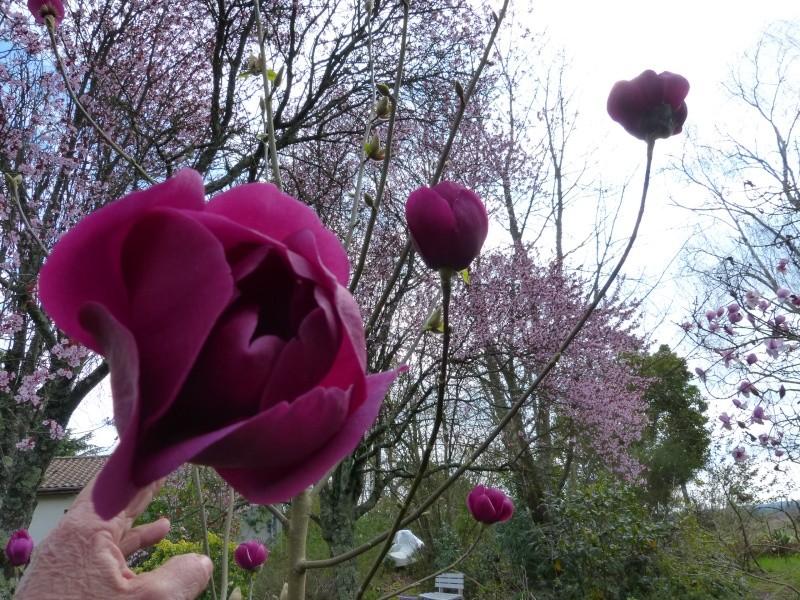 Magnolia 'Black Tulip' Magnol15