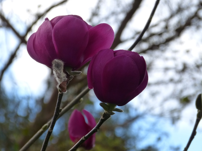 Magnolia 'Black Tulip' Magnol16