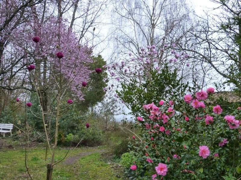 Magnolia 'Black Tulip' Magnol17