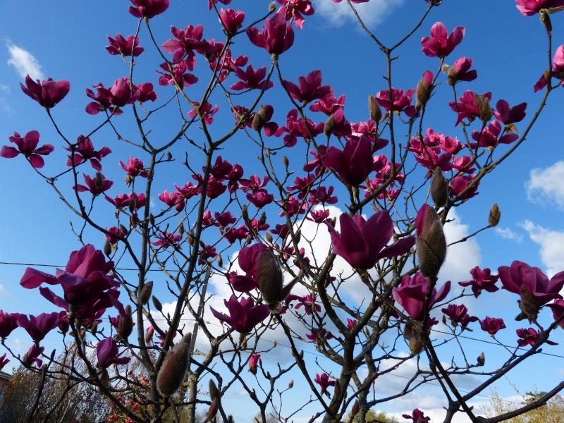 Magnolia 'Vulcan' Magnol20