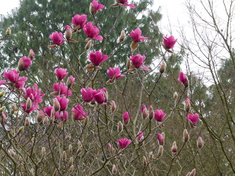 Magnolia 'Vulcan' Magnol21