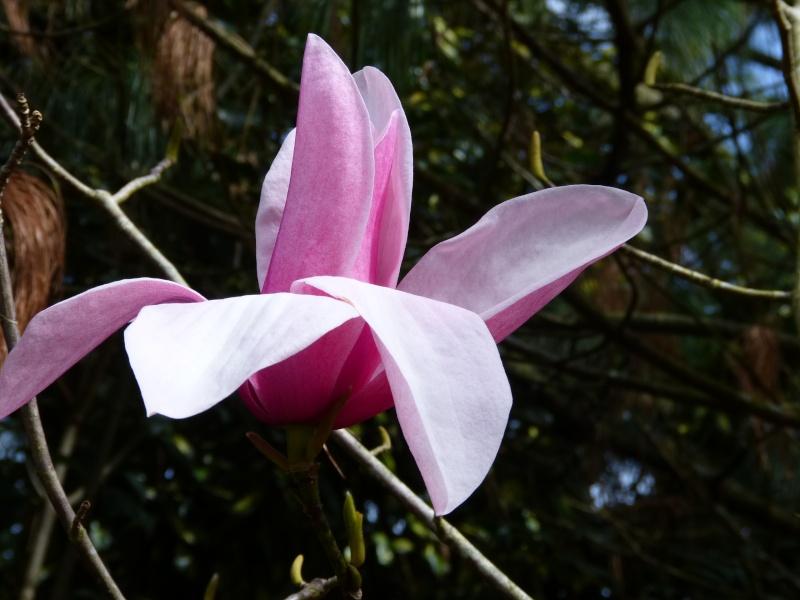 Magnolia 'Star Wars' Magnol26
