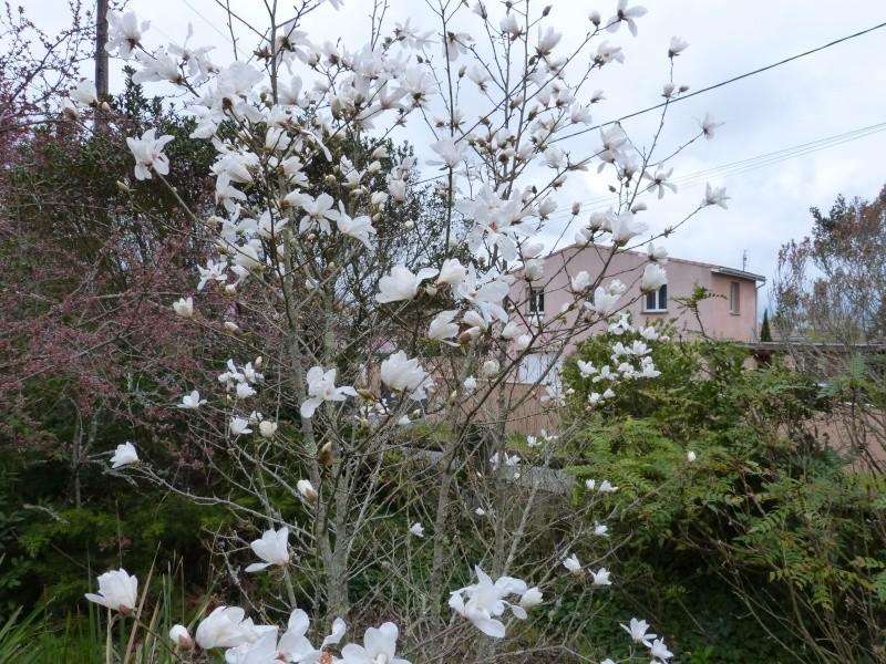 Magnolia x loebneri 'Merrill' Magnol31