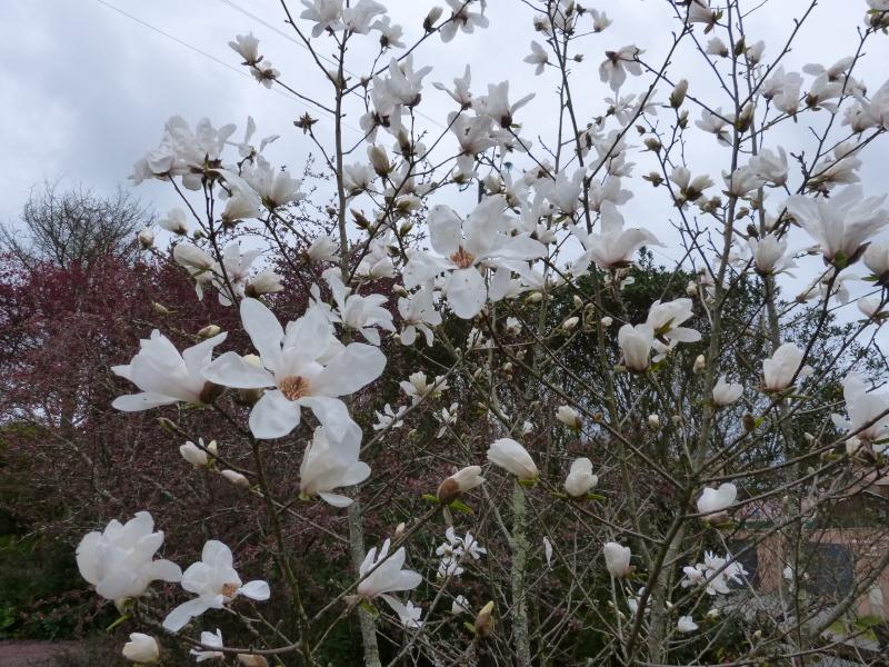 Magnolia x loebneri 'Merrill' Magnol32