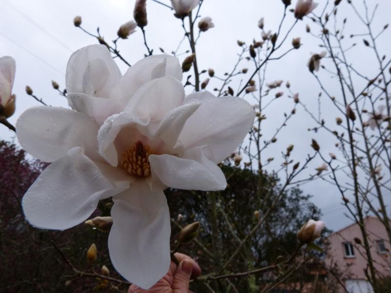Magnolia x loebneri 'Merrill' Magnol33