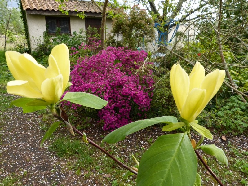 Magnolia 'Daphne' Magnol37