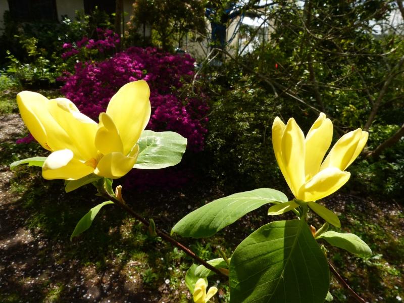 Magnolia 'Daphne' Magnol38