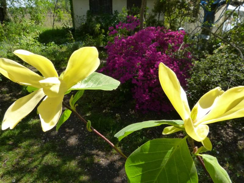 Magnolia 'Daphne' Magnol39