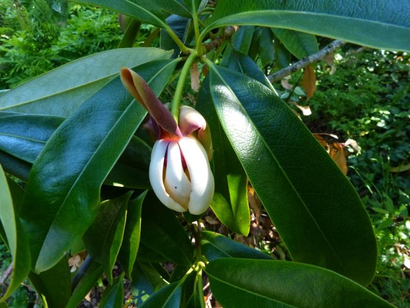 Magnolia conifera var. chingii (= Manglietia chingii) Mangli13