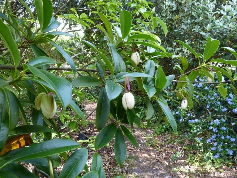 Magnolia conifera var. chingii (= Manglietia chingii) Mangli23