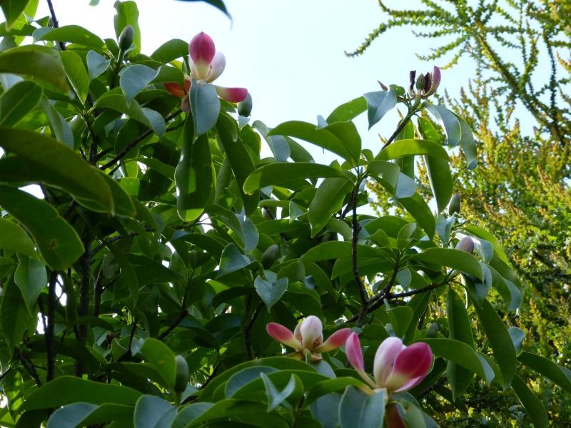 Magnolia insignis (= Manglietia insignis) Mangli25