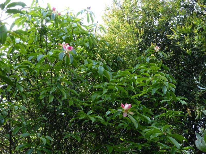 Magnolia insignis (= Manglietia insignis) Mangli27