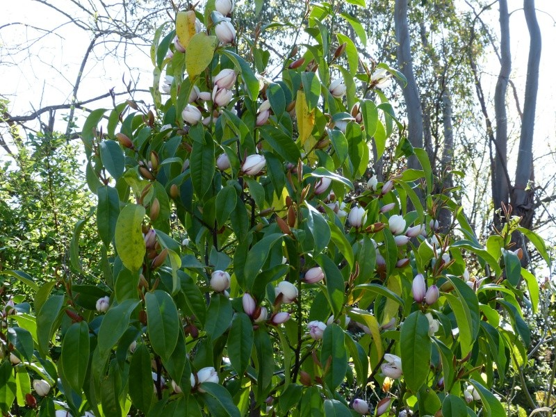 Magnolia x bubbles (= Michelia x bubbles) Michel20