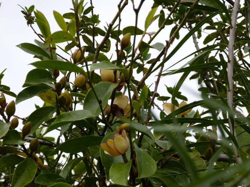 Magnolia figo (= Michelia figo) Michel22