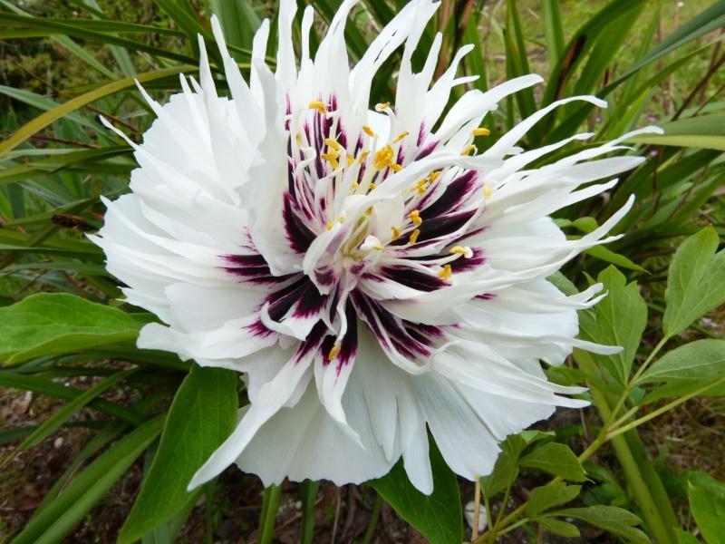 nos plantes parfumées - 2011-2015 - Page 5 Paeoni14