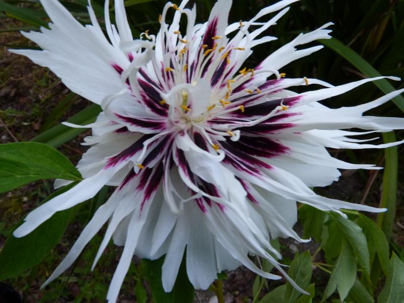 le joli mois de mai des fous jardiniers Paeoni18