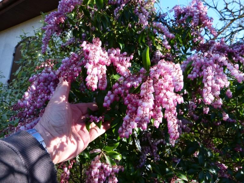 nos plantes parfumées - 2011-2015 - Page 3 Pieris11
