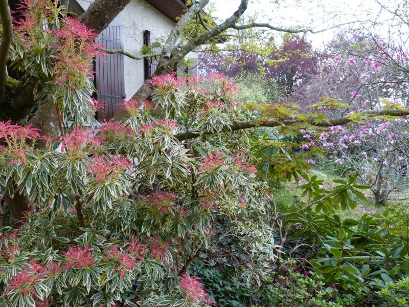 Pieris japonica 'Flaming Silver' Pieris13