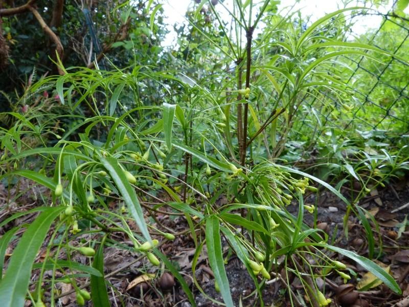 nos plantes parfumées - 2011-2015 - Page 5 Pittos14