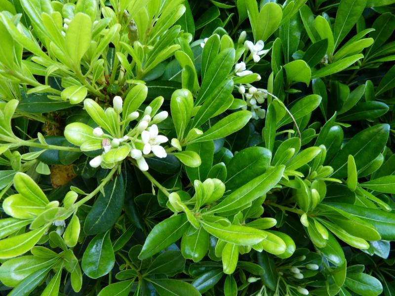 nos plantes parfumées - 2011-2015 - Page 5 Pittos15