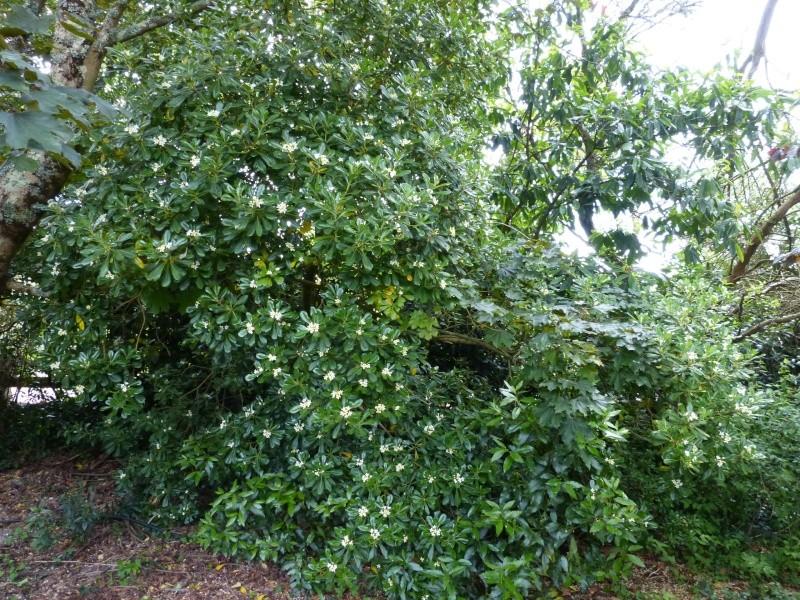 nos plantes parfumées - 2011-2015 - Page 5 Pittos16