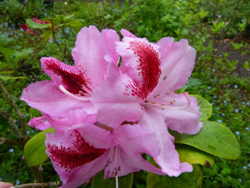 Rhododendron - espèces, variétés, floraisons - Page 5 Rhhodo10