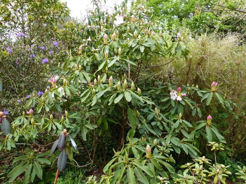 Rhododendron - espèces, variétés, floraisons - Page 5 Rhodo101