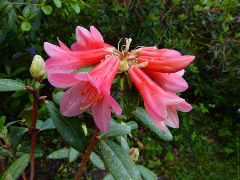 le joli mois de mai des fous jardiniers - Page 5 Rhodo103