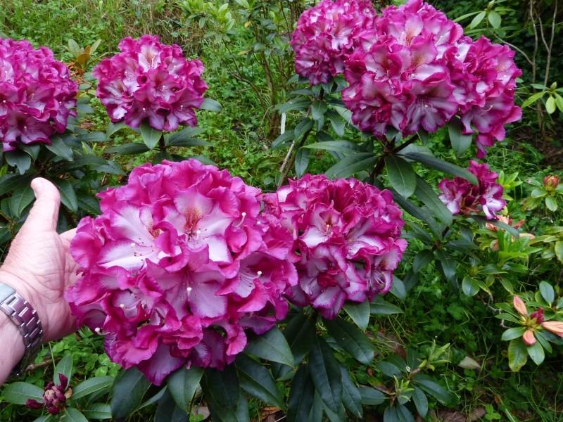 Rhododendron - espèces, variétés, floraisons - Page 5 Rhodo104