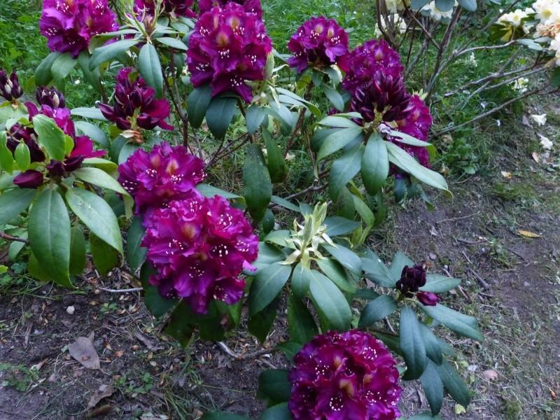 Rhododendron - espèces, variétés, floraisons - Page 5 Rhodo106