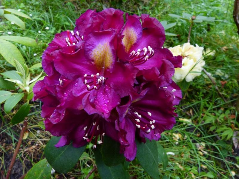 Rhododendron - espèces, variétés, floraisons - Page 5 Rhodo110