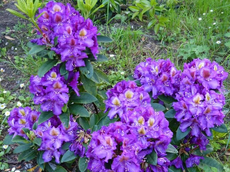 Rhododendron - espèces, variétés, floraisons - Page 5 Rhodo113