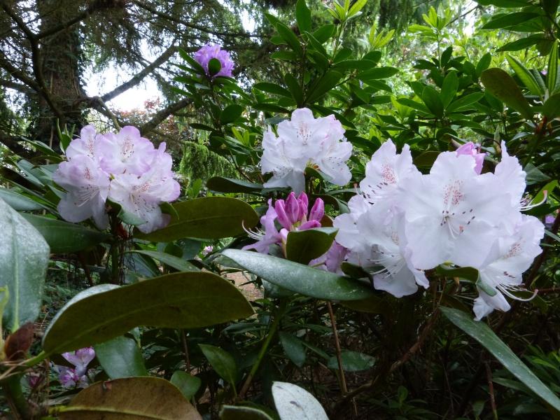Rhododendron - espèces, variétés, floraisons - Page 5 Rhodo116