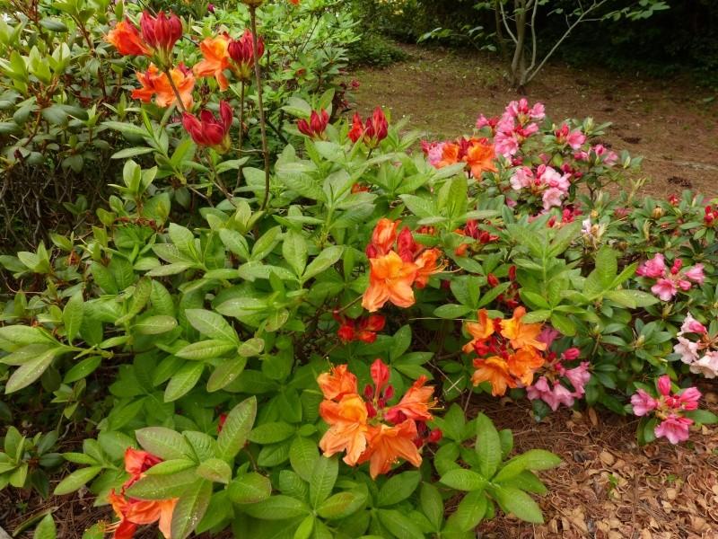 Rhododendron - espèces, variétés, floraisons - Page 5 Rhodo118