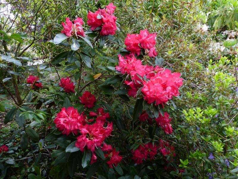 Rhododendron - espèces, variétés, floraisons - Page 6 Rhodo122