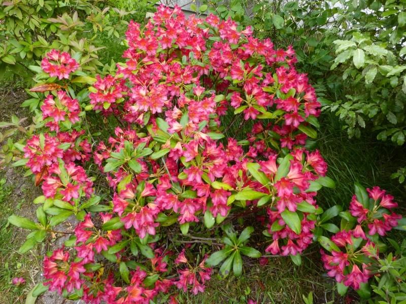 Rhododendron - espèces, variétés, floraisons - Page 6 Rhodo124