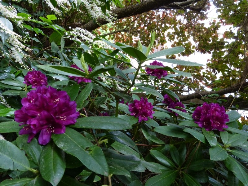 le joli mois de mai des fous jardiniers - Page 8 Rhodo128