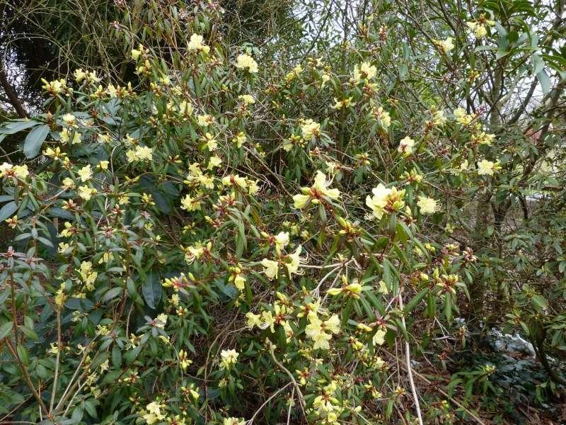 Rhododendron - espèces, variétés, floraisons - Page 3 Rhodod10