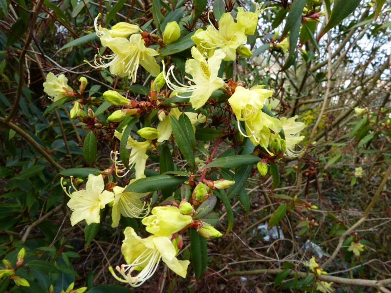 Rhododendron - espèces, variétés, floraisons - Page 3 Rhodod11