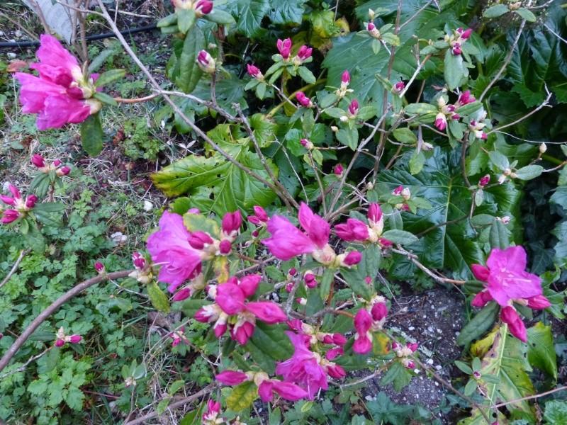 Rhododendron - espèces, variétés, floraisons - Page 3 Rhodod13