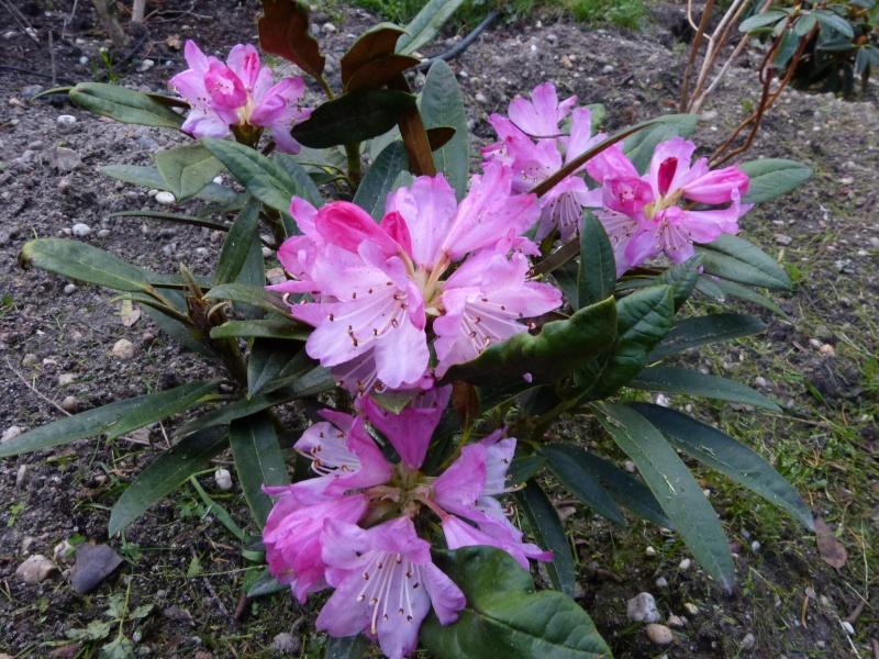 Rhododendron - espèces, variétés, floraisons - Page 3 Rhodod21