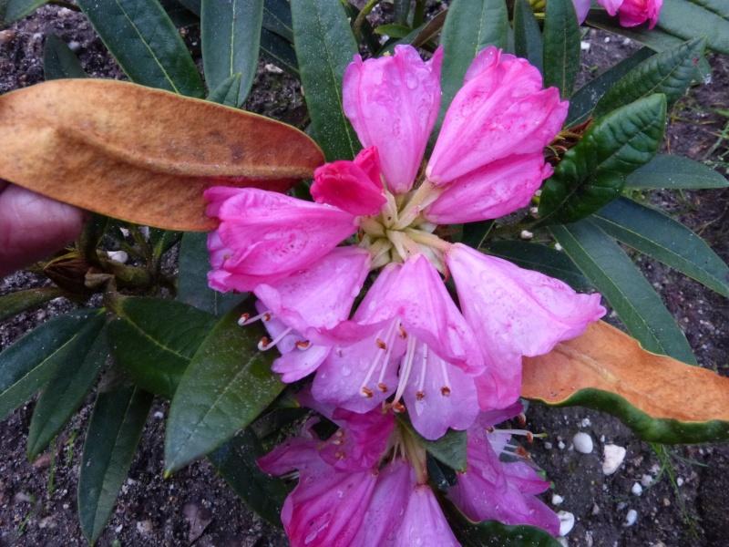 Rhododendron - espèces, variétés, floraisons - Page 3 Rhodod22